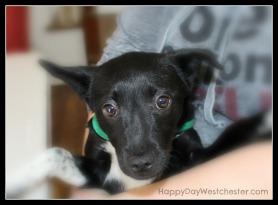 Happy Day Westchester Alex Adopt a Dog